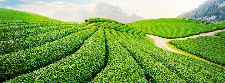 Champs de thé à Mai Chau - Lua Viet Tours